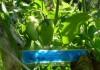 Гибридный сорт томатов Каспар
