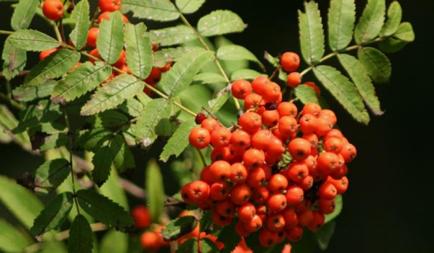 лечебные свойства рябины красной