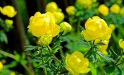 Купальница и ее подвиды. Как вырастить луговой цветок в саду