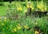 выращивание эремуруса