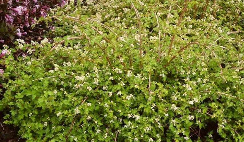 выращивание стефанандры