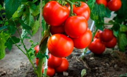 Томат скороспелый Татьяна: урожайность, описание, агротехника, отзывы