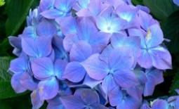 Гортензия: виды и предпочтительные сорта для российского сада