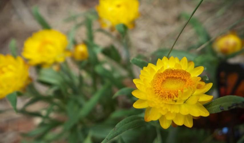выращивание бессмертника