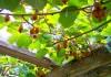 выращивание актинидии в подмосковье
