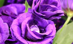 Царственная роскошь фиолетовых роз в вашем саду