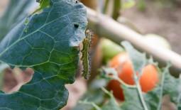 Основные вредители капусты и методы борьбы с ними