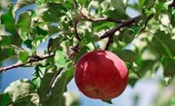 Эффективные способы избавится от скрученных листьев и паутины на яблоневых деревьях