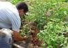 мульчирование почвы под томаты