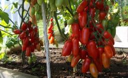 Немецкий томат: подробное описание и рекомендации фермеров. Как вырастить кистевой Фляшен