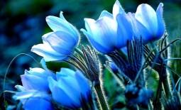 Небесный цветник: фото и описание голубых цветов для клумбы