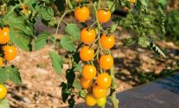 Томат желтоплодный Черри Кира F1: описание, агротехника, отзывы