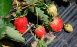 Как заработать на клубнике, выращивая ягоду круглый год. Подсказки для новичков в бизнесе