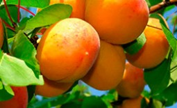 Описание абрикоса Десертный: характеристики и преимущества сорта