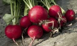 Редис на продажу: особенности выращивания зимой в теплице