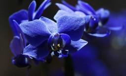 Встречается ли в природе синяя орхидея. Как ухаживать за ней дома