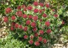 выращивание родиолы розовой