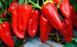 Перец Фунтик – отличный урожай в любом регионе