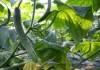 Огурцы для выращивания в Сибири