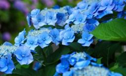 Как украсить клумбу исключительно синими цветами
