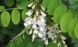 Выращивание белой акации: особенности посадки и ухода