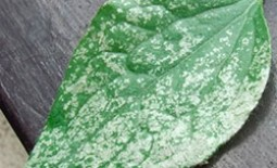 Борьба с трипсами на комнатных растениях