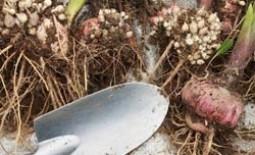 Когда выкапывают гладиолусы, как их хранят и проращивают