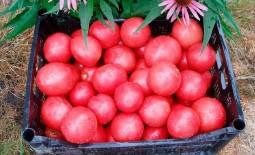 Помидорный гибрид Третьяковский F1: детальное описание, агротехника томата, отзывы