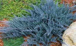 Виды можжевельника горизонтального и особенности его выращивания