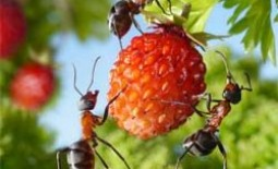 Муравьи на садовом участке: борьба с ними разными методами