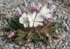 выращивание энотеры