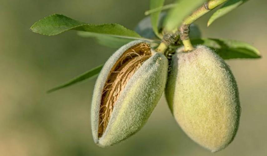 выращивание миндаля