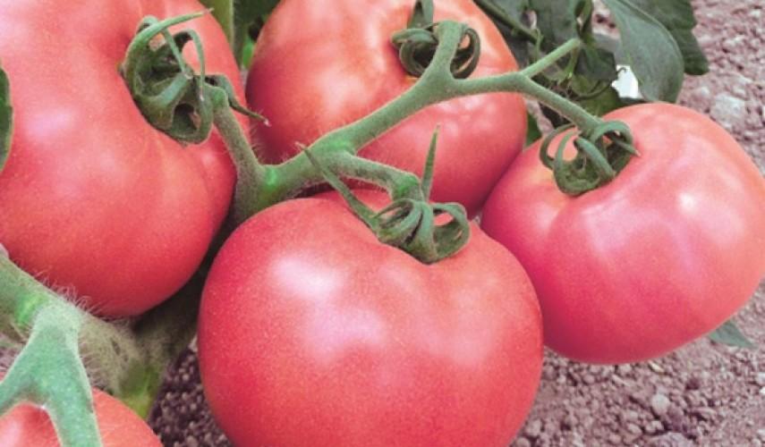 Сорт томатов Демидов