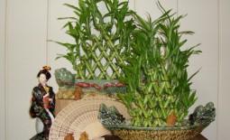 Чем привлекательна драцена Сандера и как вырастить красивый комнатный бамбук дома