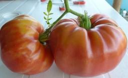 Бугай – мощь и красота томата. Описание разновидностей сорта и особенности выращивания