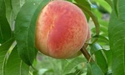 Достоинства и недостатки сорта персиков Гринсборо, отзывы и фото