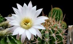 Эхинопсис — кактус на любой вкус. Как вырастить его в домашних условиях