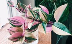 Садовая и комнатная традесканция: виды и сорта растений