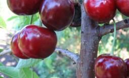Сорт «Василиса»: как вырастить крупноплодную черешню