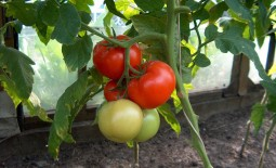 Томат крупноплодный Чудо рынка: характеристики, описание, базовая агротехника, отзывы