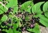выращивание аралии