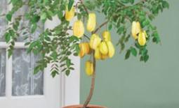 Карамбола– выращиваем экзотический фрукт из тропиков в домашних условиях