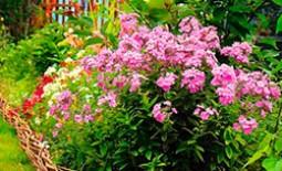 Список многолетних цветов, которые можно укоренить на даче осенью