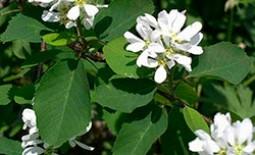 Ирга ольхолистная: недооцененная красавица в вашем саду