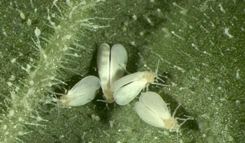 белокрылка в теплице