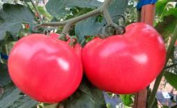 Малинка Стар: как ухаживать за ранним томатом, подробное описание культивации