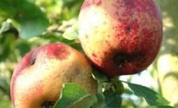 Спасти яблоню: как выявить и побороть болезни и вредителей дерева