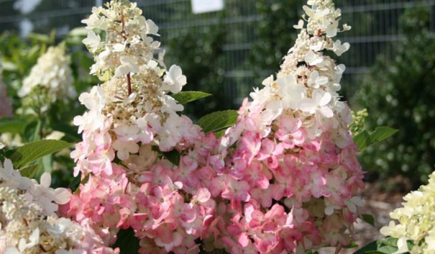 выращивание гортензии в сибири