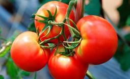 Характеристики и особенности агротехники томата Кострома