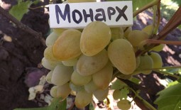 Виноград с громким названием Монарх. Внешние признаки и культивирование